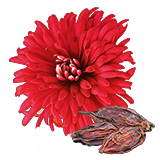 ChrysanthemumSeed.png