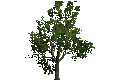 MapleTree.png