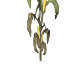 PlantedCorn3Harvest.png