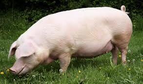 Świnia.jpg