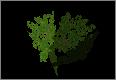 BushMaple.png