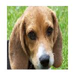 BeaglePup242