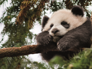 "Pandas have recently moved from ""Endangered"" to ""Vulnerable"""