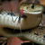 Дымчатый Змей