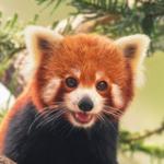 MeeperstheredpandaAlpha's avatar