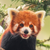 MeeperstheredpandaAlpha