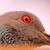 Anika-pigeon