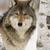 WolfGirlsClan