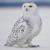 Hedwig the Snowy Owl