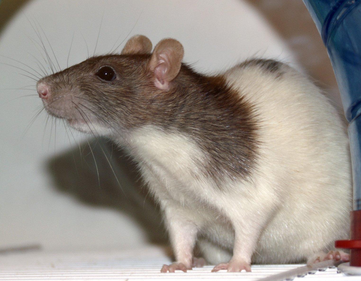 Ratammer
