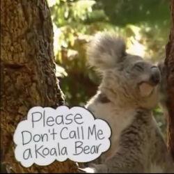 Please Don't Call Me A Koala Bear