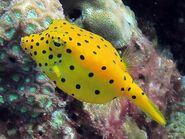 The Yellow Boxfish