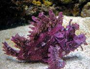 Weedy scorpinionsfish