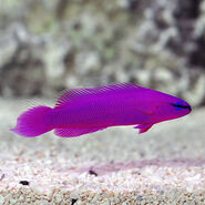 The Orchid Dottyback