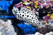 Panther-grouper-e1550532817790