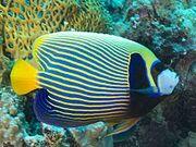 Emperor Angelfish - Real-life.jpg