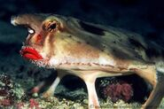 Red-lip-batfish