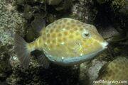 The eastern smooth boxfish.jpg