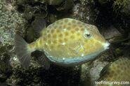 The eastern smooth boxfish