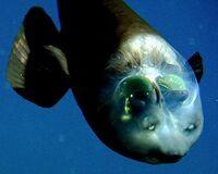 090223-02-fish-transparent-head-barreleye-pictures big.jpg
