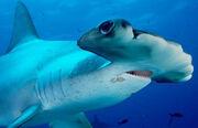 2910080349 tiburonmartillo.jpg