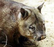 Haarnasenwombat (Lasiorhinus krefftii)