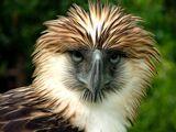 Aguila Filipina