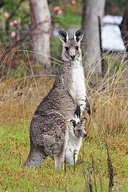 250px-Kangaroo and joey03.jpg