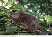 Bear cuscus ailurops ursinus an endemic marsupial 140124