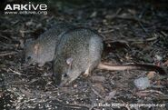 Juvenile-brush-tailed-bettong-with-female