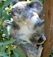 Mid-Koala with young.ogv
