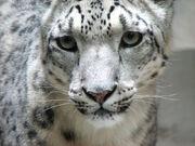 3009081245 leopardonieves3.jpg