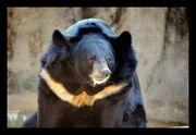 1901090216 oso negro asiatico 99.jpg