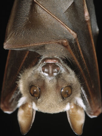 Arndt-minden-pictures-ingo-buettikofer-s-epauletted-bat-epomops-buettikoferi-close-up-of-face.jpg