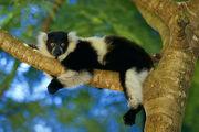 1809120128 lemur variegata.jpg