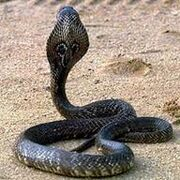 Cobra real.jpg