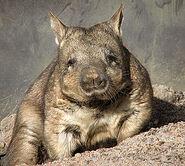 260px-Wombat 1