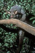 Petauroides volans (1)