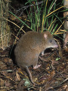 Dave-watts-long-footed-potoroo-potorous-longipes-an-endangered-species-victoria-australia