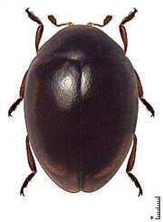 Coccidophilus lozadai.jpg