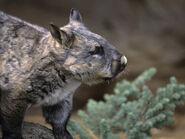 Dave-watts-southern-hairy-nosed-wombat-head-lasiorhinus-latifrons-victoria-australia