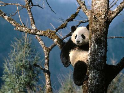 Oso panda arbol.jpg