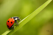 Coccinellidae by EliseJ Photographie
