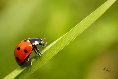 Coccinellidae by EliseJ Photographie.jpg