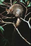 Petauroides-volans.greater-glider.bt-petavola