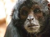 Mono araña de cabeza café