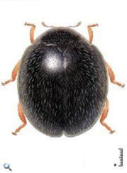 Parastethorus histrio.jpg