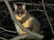 Normal Nickolay Tilcheff-BrushTail 04