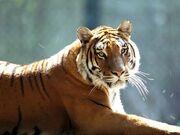 2103090655 tigre sur china 4.jpg