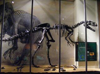 Neovenator salerii skeleton - dinosaur isle.jpg